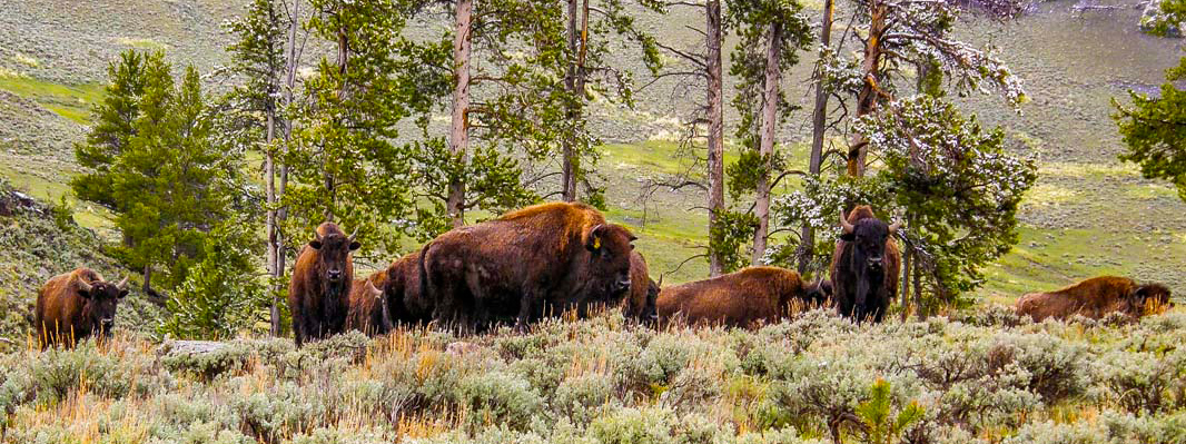 Heard of Bison Yellowstone
