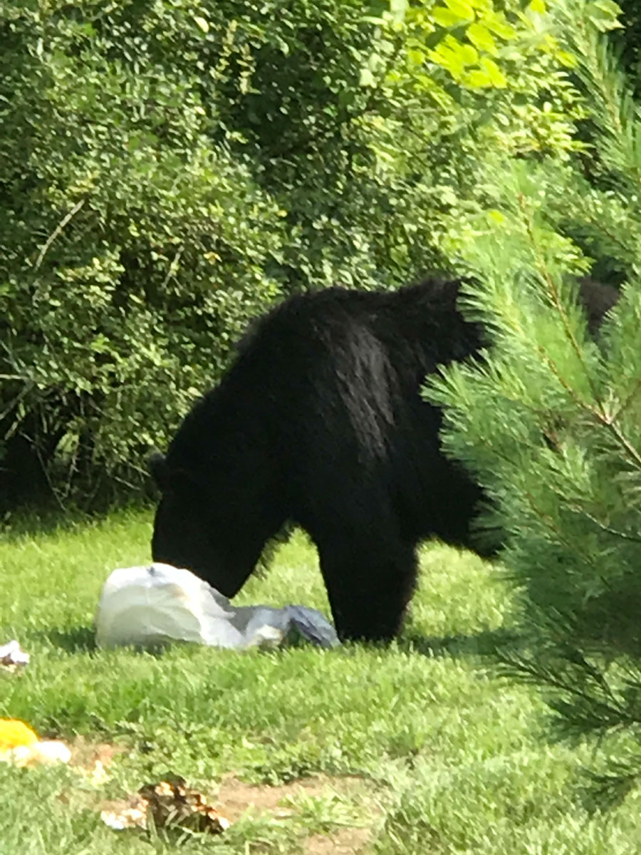 black bear stealing the trash